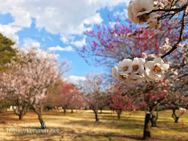 野川公園の梅