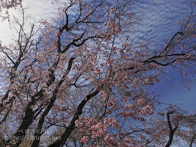 多摩森林科学園の桜 Instagram